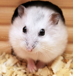 Winter White Dwarf Hamster Care & Facts - Djungarian ...